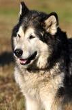 Malamut dog Royalty Free Stock Images