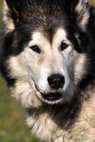 Malamut dog Stock Images