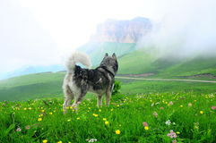 Malamut dog. In blooming mountains Royalty Free Stock Image