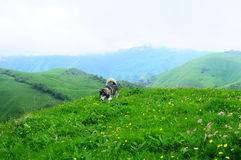 Malamut dog. In blooming mountains royalty free stock photos