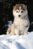 Malamut puppy. A cute little Alaskan Malamute puppy sitting in the snow Stock Photo