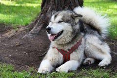 Malamute - ένα μεγάλο βόρειο σκυλί βρίσκεται στην πράσινη χλόη thoroug Στοκ φωτογραφία με δικαίωμα ελεύθερης χρήσης