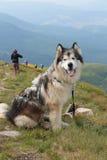 Malamute στην κορυφή του βουνού Στοκ Εικόνες