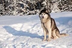 Malamute. Dog of malamute husky sled breed sitting on snow Stock Photos