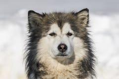 malamute Στοκ φωτογραφίες με δικαίωμα ελεύθερης χρήσης