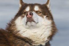malamute Στοκ Φωτογραφία