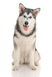 Malamute Royalty Free Stock Photos