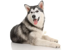 Malamute Stock Photo