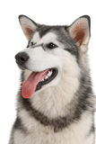 Malamute Stock Photos