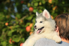 Malamute blanco El perrito se sienta en el hombro 1 mes Imagenes de archivo