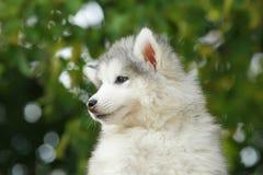 Malamute blanco mullido Perrito 2 meses Imagenes de archivo