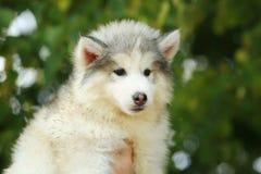 Malamute blanco Perrito 2 meses Imágenes de archivo libres de regalías