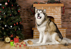 Malamute with christmas-tree decorations Stock Images