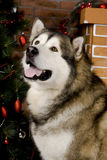 Malamute with christmas-tree decorations Royalty Free Stock Photos