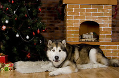 Malamute with christmas-tree decorations Stock Image