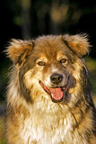 Malamute cross smiling Stock Photography