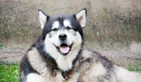 Malamute d'Alasca immagini stock libere da diritti