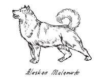 Malamute d'Alasca illustrazione di stock