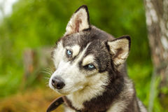Malamute d'Alasca con gli occhi azzurri Immagine Stock Libera da Diritti