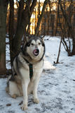 Malamute d'Alasca del cane Fotografia Stock