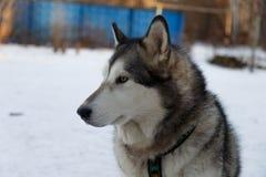 Malamute d'Alasca del cane Immagine Stock