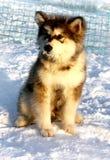Malamute d'Alasca del cucciolo del cane Fotografia Stock Libera da Diritti