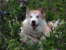 Malamute d'Alaska Photos stock