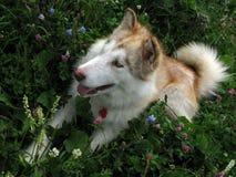 Malamute d'Alaska Photo stock