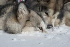 Malamute d'Alaska Images libres de droits