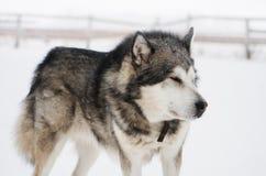 Malamute d'Alaska Photographie stock libre de droits