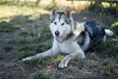 Malamute d'Alaska au sol Photo stock