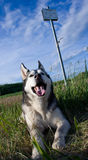 Malamute d'Alaska de race de chien Photos stock