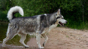 Malamute d'Alaska de race de chien Photo libre de droits
