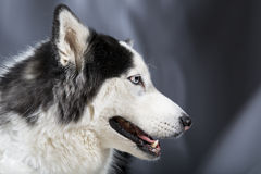 Malamute d'Alaska ou Husky Dog Image stock