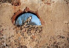 Malamute d'Alaska se reposant sur les ruines du vieux bâtiment Image stock