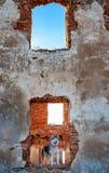 Malamute d'Alaska se tenant sur les ruines du vieux bâtiment Image stock