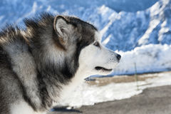 Malamute de Alaska Imagen de archivo libre de regalías