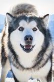 Malamute de Alaska Foto de archivo libre de regalías