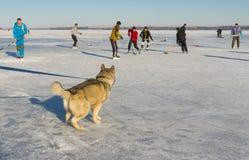 Malamute de Alaska joven que mira con el juego de hockey del interés en un río congelado Dnepr en Ucrania Fotos de archivo libres de regalías