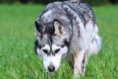 Malamute de Alaska de la raza adulta del perro, mullido, mojado y sucio Foto de archivo libre de regalías