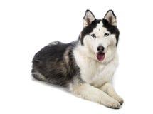 Malamute de Alaska o Husky Dog Isolated en blanco Imagenes de archivo