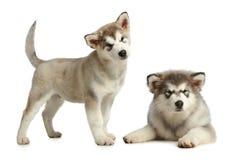 Malamute de dois filhotes de cachorro (3 meses) imagens de stock