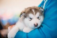 Malamute-de puppyhond van Alaska zit in handen van eigenaar stock foto