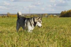 Malamute de race de chien de traîneau Photo stock