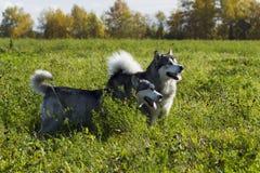 Malamute de race de chien de traîneau Images stock