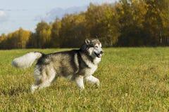 Malamute de race de chien de traîneau Photographie stock