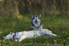 Malamute de race de chien de traîneau Photographie stock libre de droits