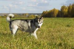 Malamute de race de chien de traîneau Images libres de droits