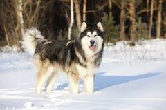 Malamute in de sneeuw stock fotografie