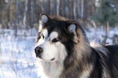 Malamute in de sneeuw stock afbeeldingen